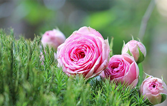 Pink rose meaning