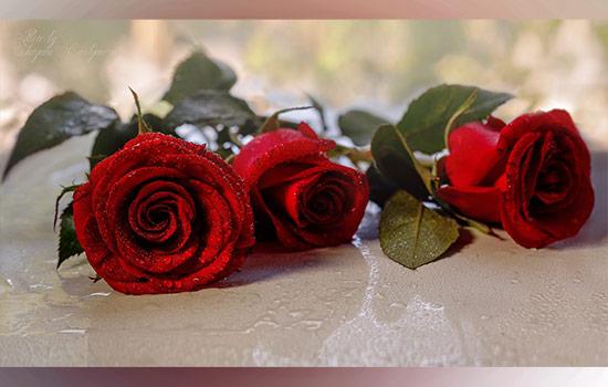 Beautifull red roses