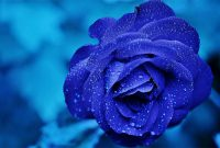 The Blue Roses Meaning