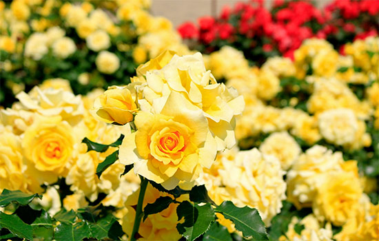 The Yellow Roses Meaning and History