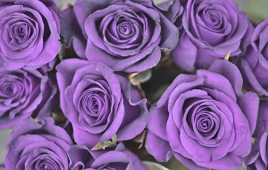 Purple Rose Meaning through History