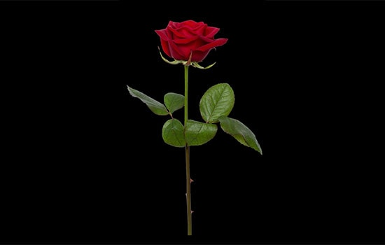 Single Red Rose Meaning