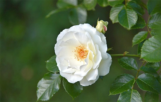 Single White Rose Meaning Reveal Its Real Symbolic Meaning