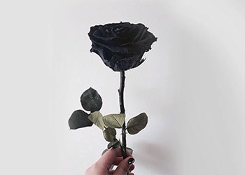 What Does A Black Rose Mean