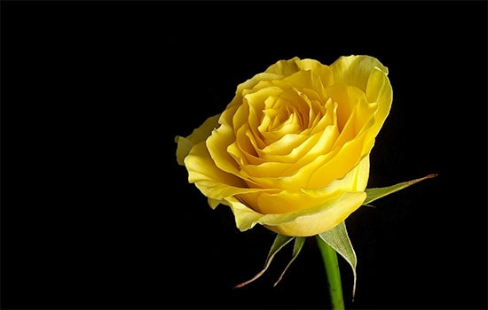 What Is Yellow Rose Symbolism All Rose Color Meanings