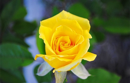 Have You Ever Wondered About Single Yellow Rose Meaning All Rose