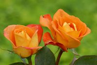 Orange roses color