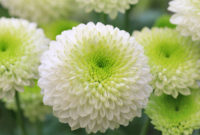 Chrysanthemum means death