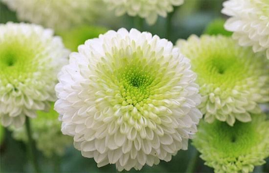 Chrysanthemum means death