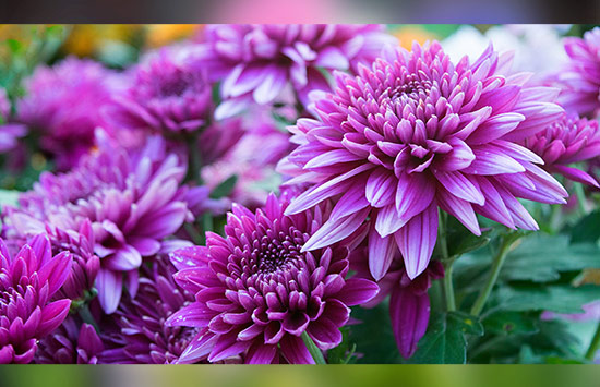 Chrysanthemum means hope