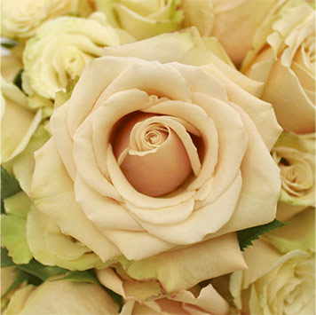 Significance of Cream Colored Flowers