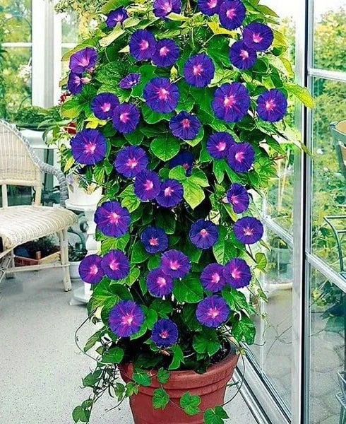meaning of morning glory flowers