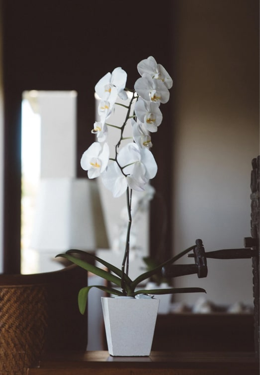White Orchid rose meaning