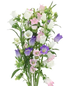 Bellflowers are also known as Canterbury bells