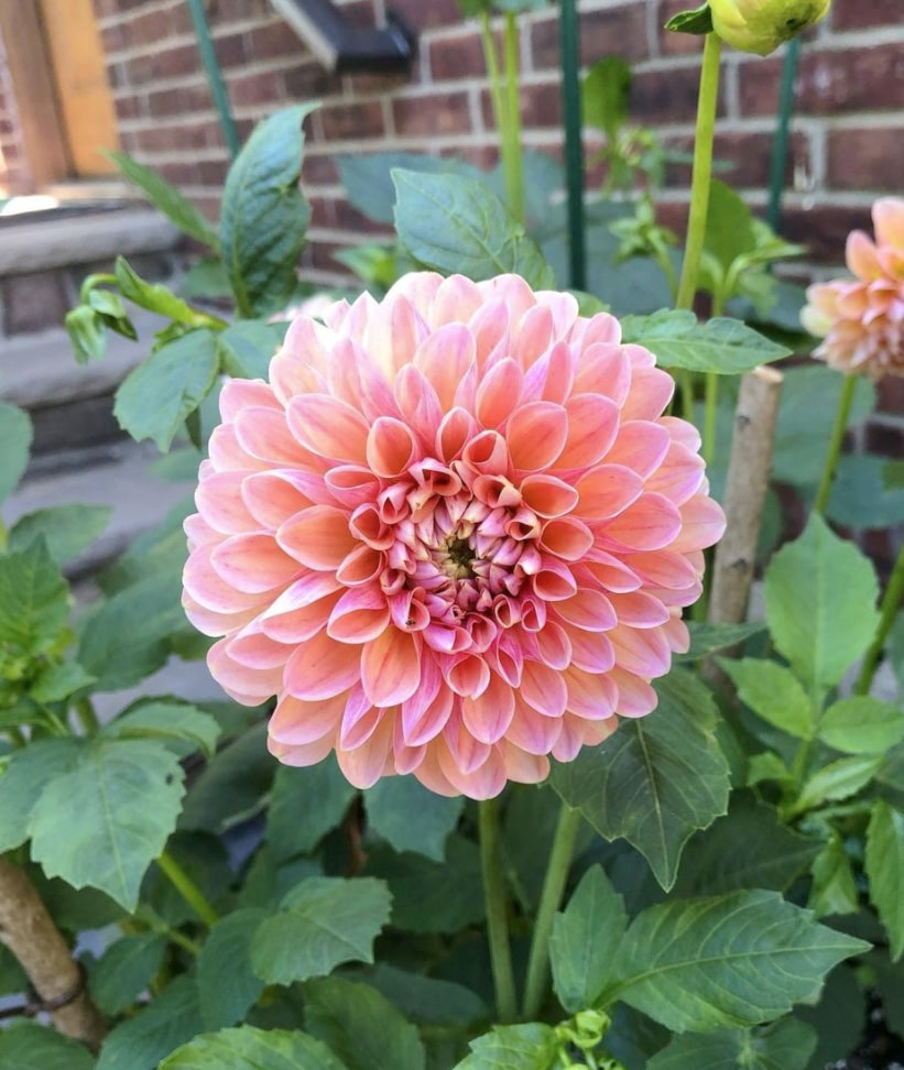 Meaning of Dahlia Flower