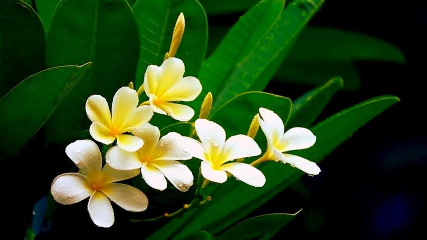 Frangipani Flower Religious