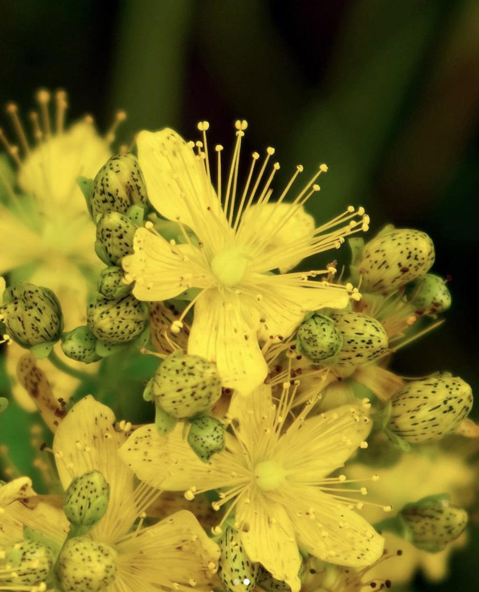 Hypericum flowers