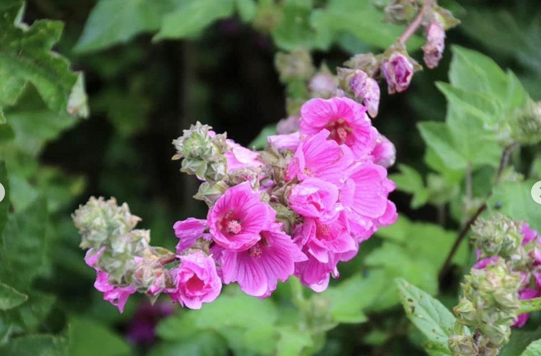 Mallow Flower Meaning