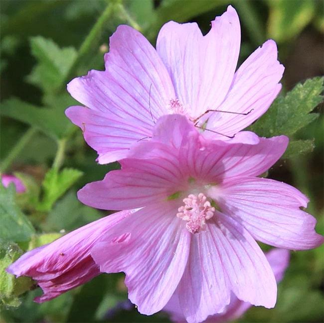Mallow flower for herbal plant