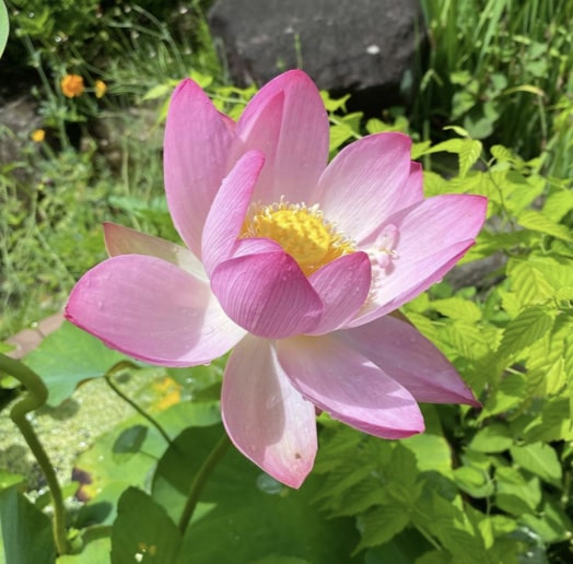 Meaning of Lotus Flowers Based on Colours